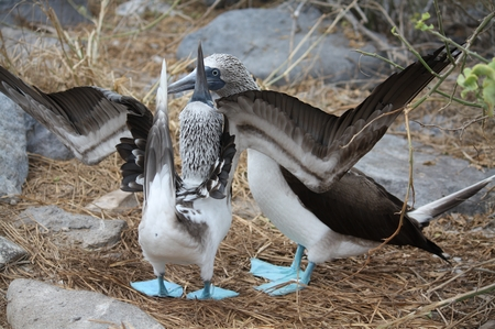Blaufußtölpel - blue footed Boobie
