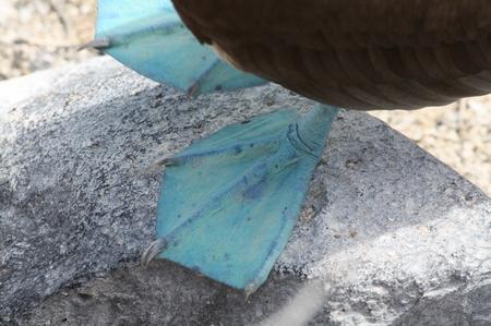 Blaufußtölpel - blue footed Boobie