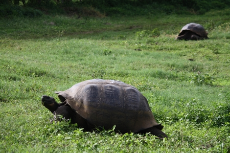 Galapagos - Riesenschildkröten