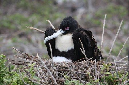 Galapagos Frigattvögel