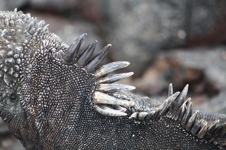 Galapagos Mariner Leguan