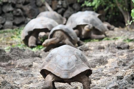 Riesenschildkröten