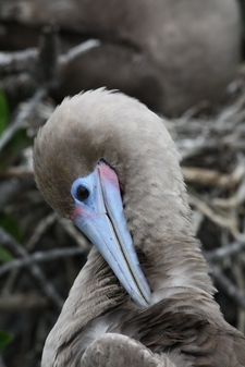 Rotfußtölpel - Red footed Boobie