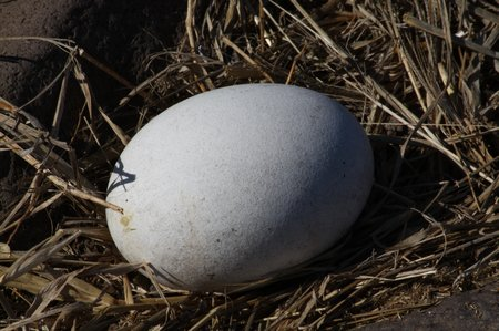 Ei des Galapagos Albatross