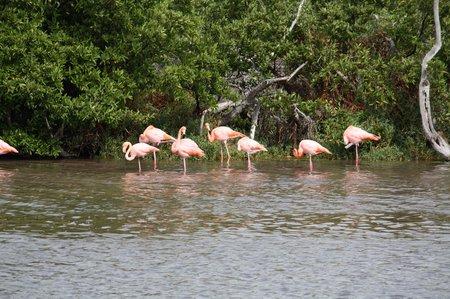 Flamingos auf den Galapagos
