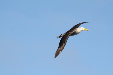 Galapagos Albatrosse