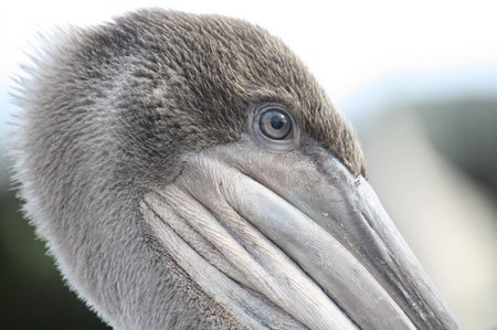 Galapagos Pelikane