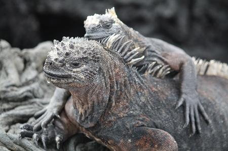 Mariner Iguan